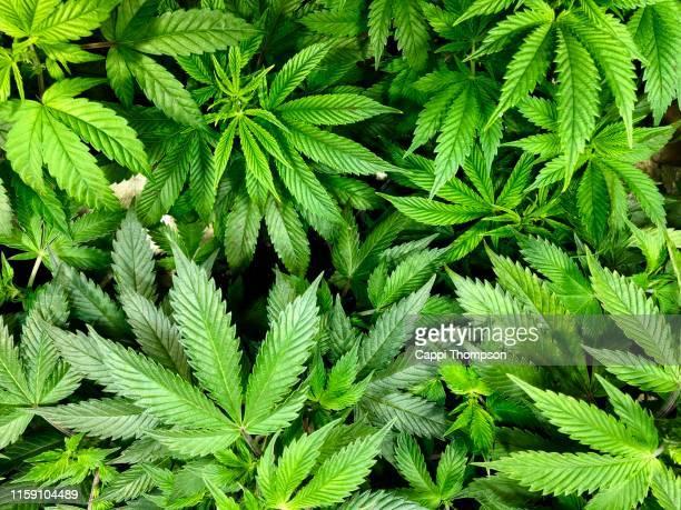 looking down at medical marijuana leaves - 大麻草 ストックフォトと画像