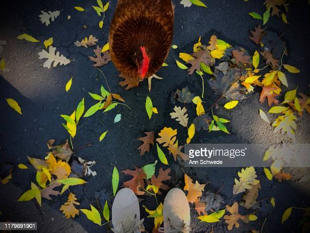 looking down at my orange hen with red comb plus fall leaves in october - loafers stock pictures, royalty-free photos & images