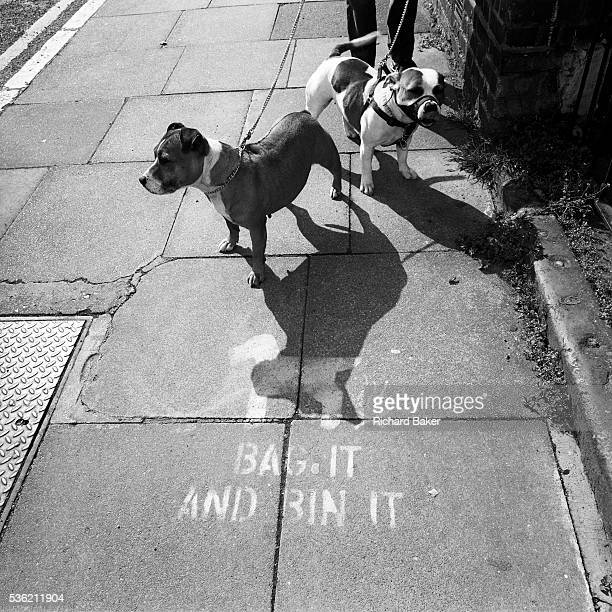 Looking down from a person's height we see two Pitbull dogs standing quietly on a south London street pavement The two animals seem docile but are...