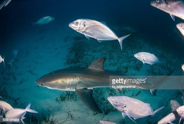 looking down on a shark - ilha netuno - fotografias e filmes do acervo