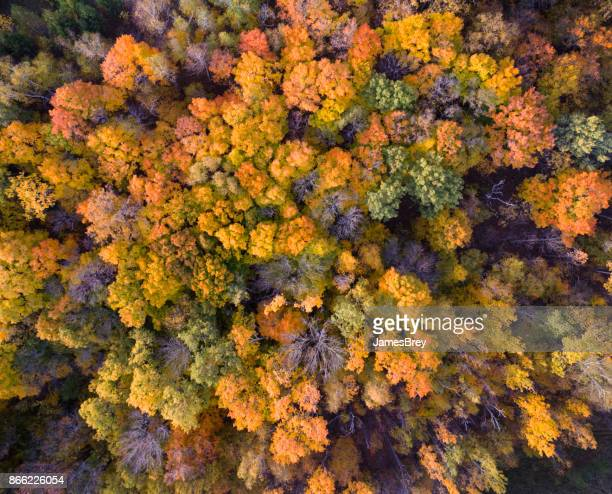 Looking down on forest of breathtaking Autumn colors, aerial view