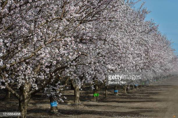 looking down row of an almond orchard in blossom with different colors painted on tree trunks to denote variety in northern california. - feeding america stock pictures, royalty-free photos & images