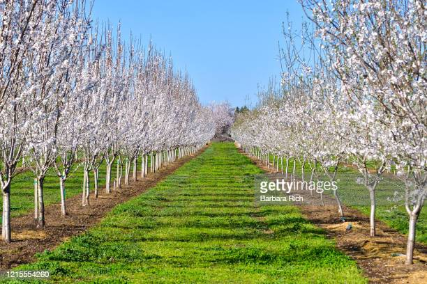 looking down rows of a young almond orchard in blossom in northern california under a blue sky. - feeding america stock pictures, royalty-free photos & images
