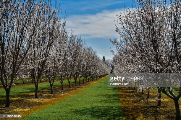 looking down rows of a young almond orchard in blossom in northern california under a blue clouded sky. - feeding america stock pictures, royalty-free photos & images