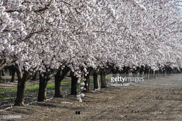 looking down rows of an almond orchard in blossom in northern california - feeding america stock pictures, royalty-free photos & images
