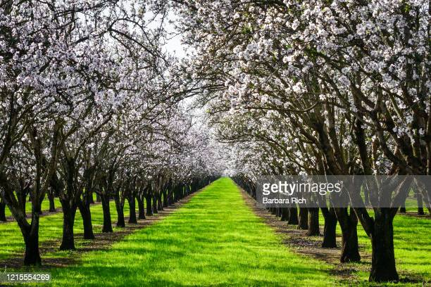looking down rows of an almond orchard in blossom in northern california. - feeding america stock pictures, royalty-free photos & images