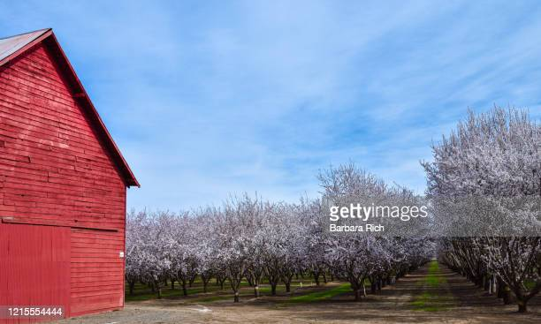 looking down rows of an almond orchard in blossom in northern california under a blue clouded sky next to red barn. - feeding america stock pictures, royalty-free photos & images