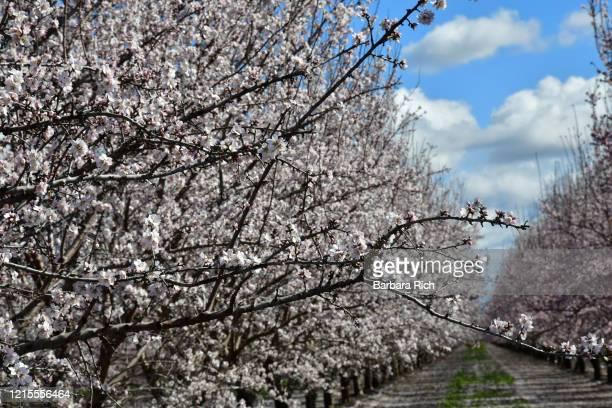 looking down rows of an almond orchard in blossom in northern california under a blue clouded sky. - feeding america stock pictures, royalty-free photos & images