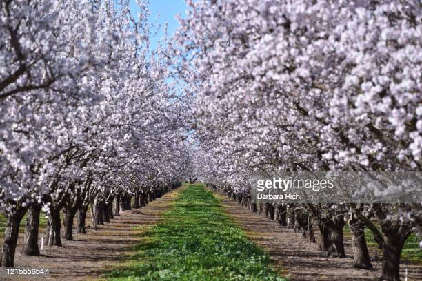 looking down rows of an almond orchard in blossom in northern california under a blue sky. - feeding america stock pictures, royalty-free photos & images