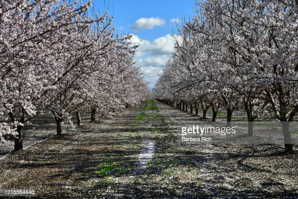 looking down rows of an almond orchard in blossom with dropped petals covering the ground in northern california under a blue clouded sky. - feeding america stock pictures, royalty-free photos & images