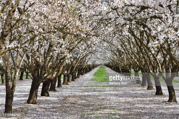 looking down rows of an almond orchard in blossom with dropped petals covering the ground in northern california . - feeding america stock pictures, royalty-free photos & images