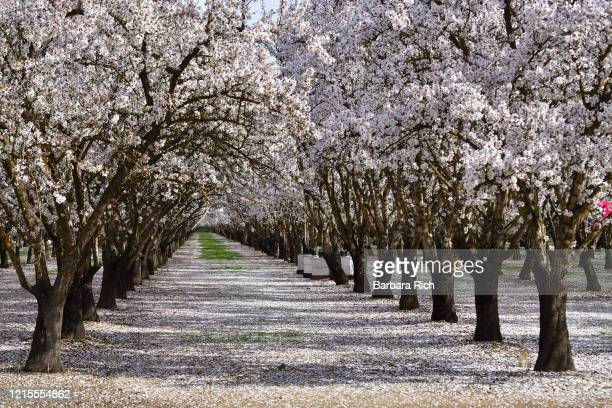 looking down rows of an almond orchard in blossom with dropped petals covering the ground in northern california under a blue sky. - feeding america stock pictures, royalty-free photos & images