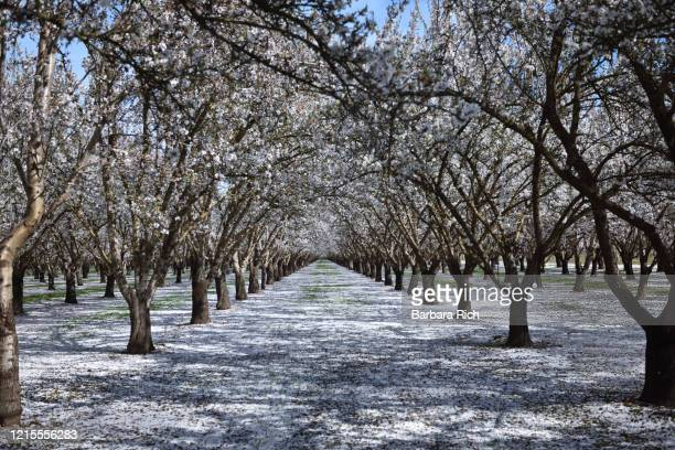 looking down rows of an almond orchard in blossom with dropped petals covering the ground in northern california. - feeding america stock pictures, royalty-free photos & images