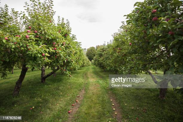 looking down the middle of two rows of apple trees in an orchard. - appelboom stockfoto's en -beelden