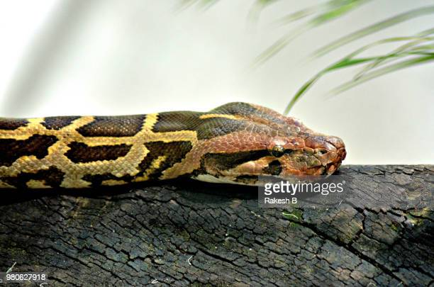 looking ferocious, but he is cool - burmese python stock pictures, royalty-free photos & images