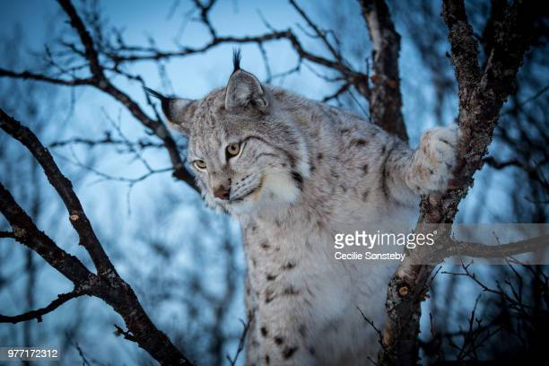 looking for a prey - lynx stock photos and pictures