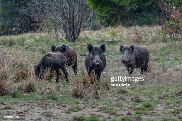 looking for some bears and boars, romania 2006 - wild boar stock pictures, royalty-free photos & images