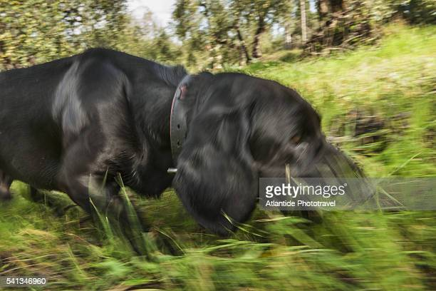 looking for truffles - san miniato stock pictures, royalty-free photos & images