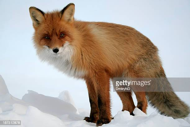 looking fox. - red fox stock photos and pictures