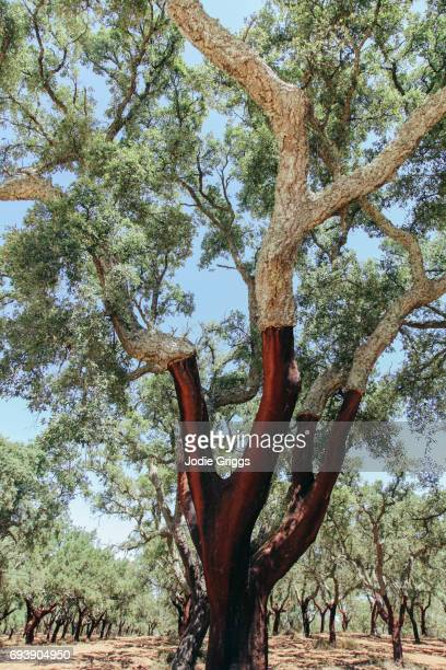 looking out across a plantation of cork trees that have had the bark harvested - cork material stock photos and pictures