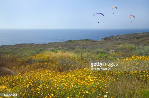 looking out at three paragliders over the ocean; field of yellow wildflowers in foreground; blue sky beyond - timothy hearsum fotografías e imágenes de stock
