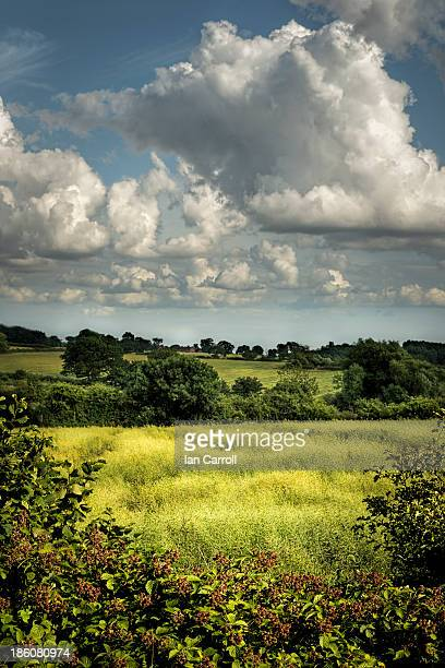 Looking over a blackberry hedge into a field of young barley on a summer day with big, white clouds in a blue sky