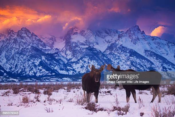 looking the wrong way - jackson hole stock pictures, royalty-free photos & images
