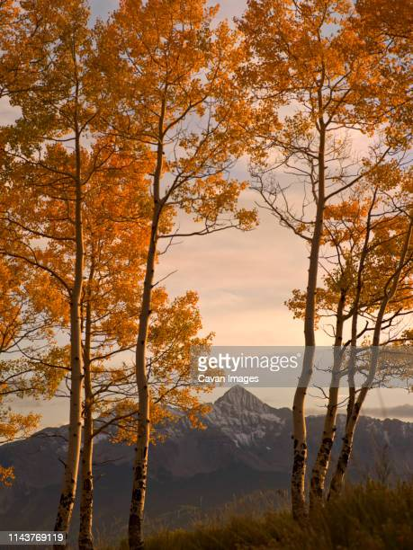 looking through aspen trees at wilson peak near telluride colorado - mt wilson colorado stock photos and pictures