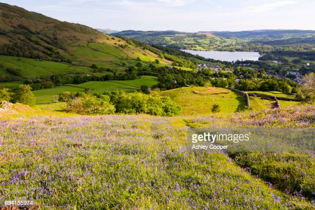 looking towards ambleside and lake windermere from red screes in the lake district, uk, with bluebells in the foreground. - lake windermere stock pictures, royalty-free photos & images