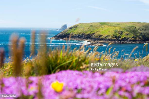 Looking towards Skomer Island from Wooltack Point, Pembrokeshire, Wales, UK, with Thyme flowering in the foreground.