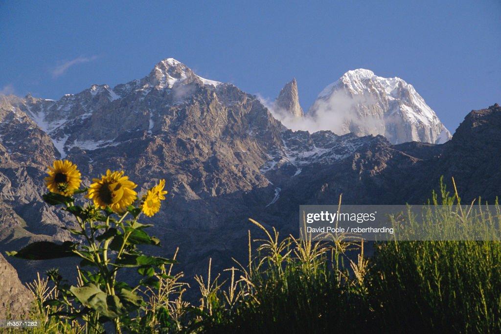 Looking towards Ultar Peak, sunflowers in the foreground, Hunza Valley, Pakistan : Stockfoto