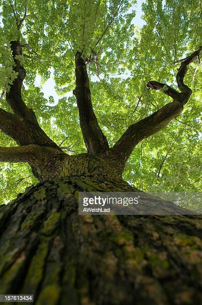 Looking up an old maple tree towards the leaves