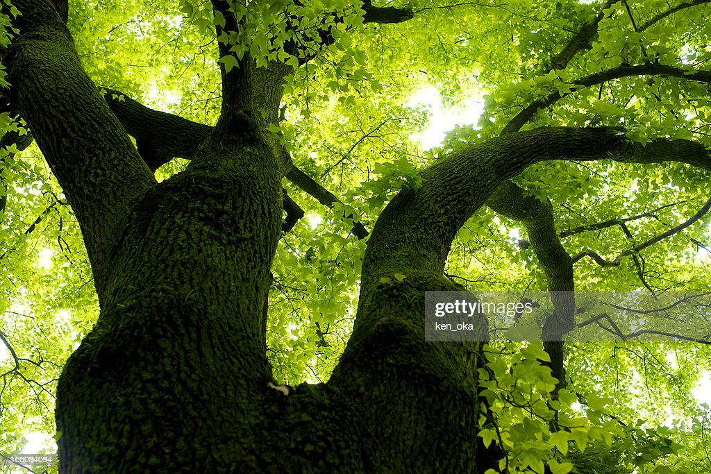 Looking up at a big and wide tree : Stock Photo