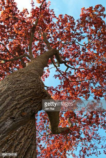 Looking up at a Red Maple tree- also called Acer Rubrum, Swamp Maple, Water Maple or Soft Maple