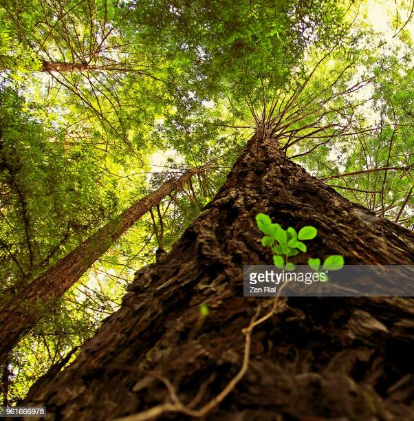 looking up at a redwood tree, sequoia, sequoioideae in pfeiffer big sur state park, california - bark stock pictures, royalty-free photos & images