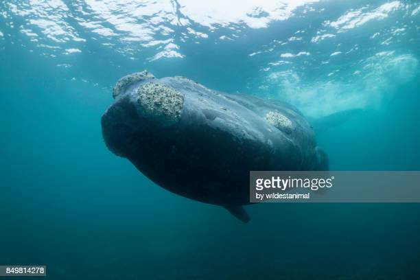 looking up at a southern right whale as it swims overhead, valdez peninsula, argentina. - duroni foto e immagini stock