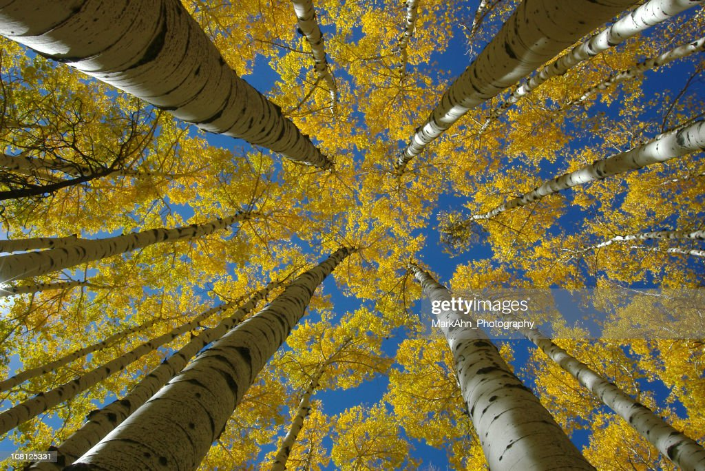 Looking Up at Aspen Trees with Yellow Autumn Leaves : Stock Photo