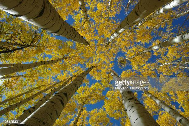 Looking Up at Aspen Trees with Yellow Autumn Leaves