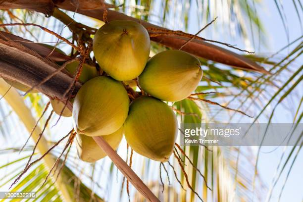 looking up at coconuts hanging in tree - coconut water stock pictures, royalty-free photos & images