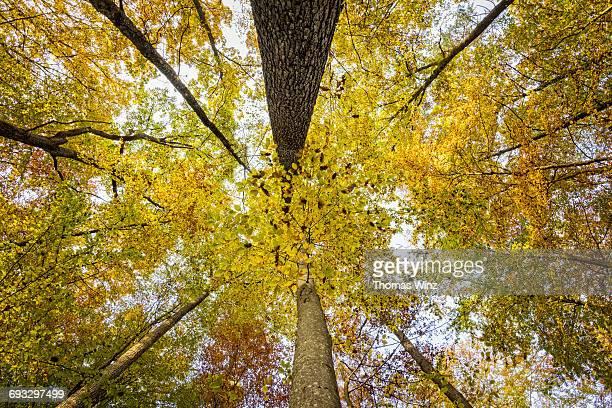 Looking up at Fall trees