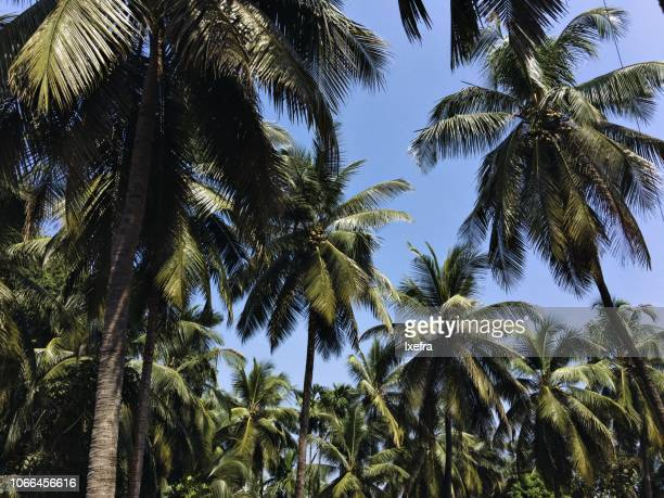 Looking up at many coconut trees with the blue sky in the background