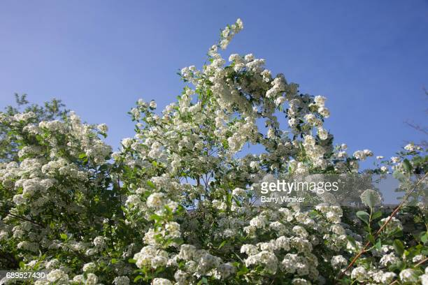 looking up at mountain laurel against sky - mountain laurel stock pictures, royalty-free photos & images