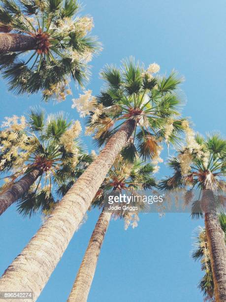 looking up at palm trees against a clear blue sky - monaco stock-fotos und bilder