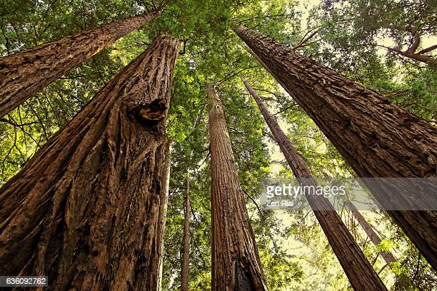 Looking up at Redwood trees, Sequoia, Sequoioideae in Pfeiffer Big Sur State Park, California