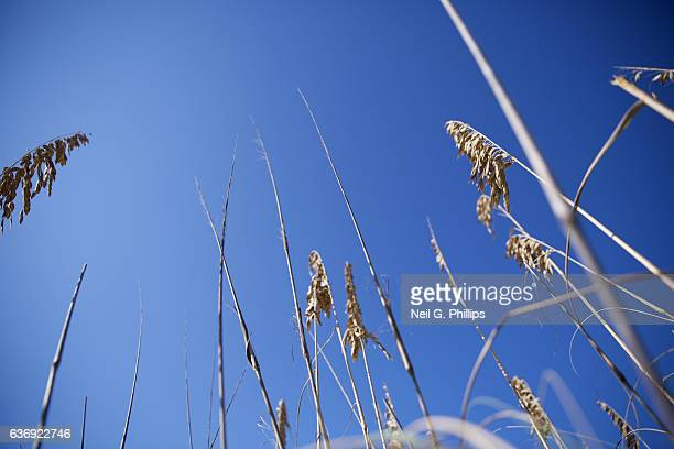 Looking up at sea oats against a blue sky December 3 2016 in Venice Florida