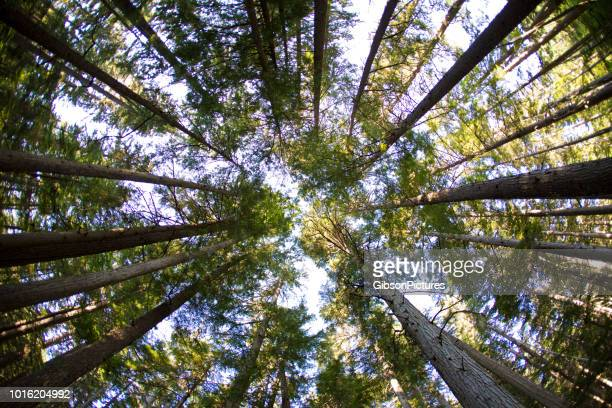 looking up at the forest - treetop stock pictures, royalty-free photos & images