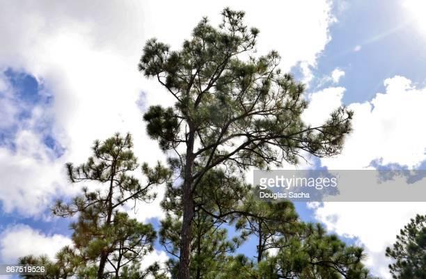 Looking up at the Slash Pine Tree (Pinus elliottii)