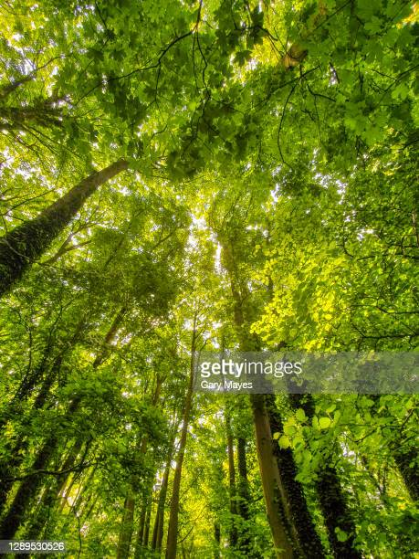 looking up at the trees with green leaves - woodland stock pictures, royalty-free photos & images