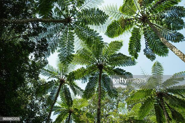 Looking up at tree fern canopy in jungle, Japan