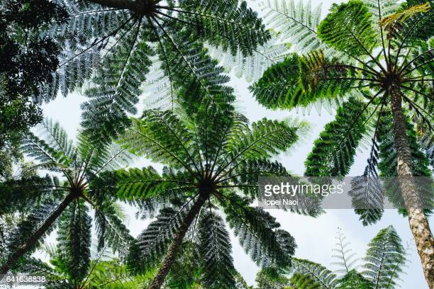 Looking up at tree fern canopy in rainforest, Japan